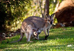 viaggio-in-Australia-Canguro
